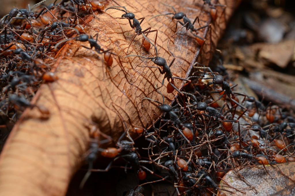 Кочевые муравьи. (Geoff Gallice)