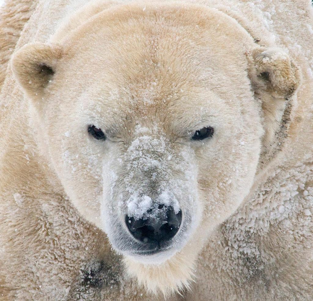Белый медведь. Ареал обитания: северное полушарие Земли. (Valerie)