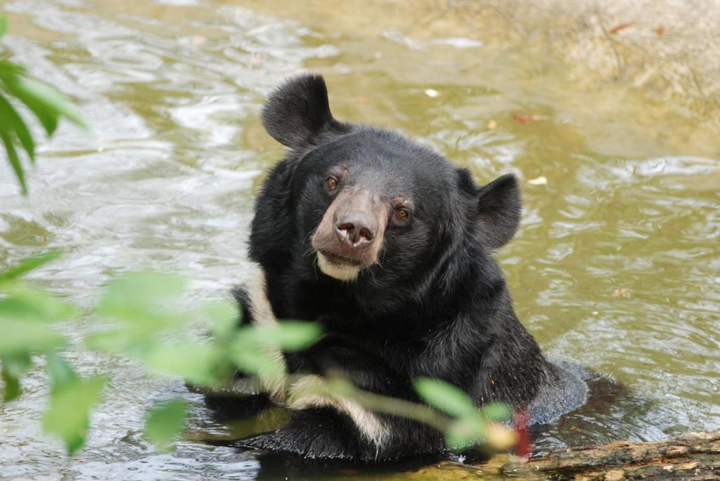 Гималайский медведь. Ареал обитания: Афганистан, Вьетнам, Иран, Китай, Пакистан, Россия, Тайвань, Япония. (Kyle Horner)