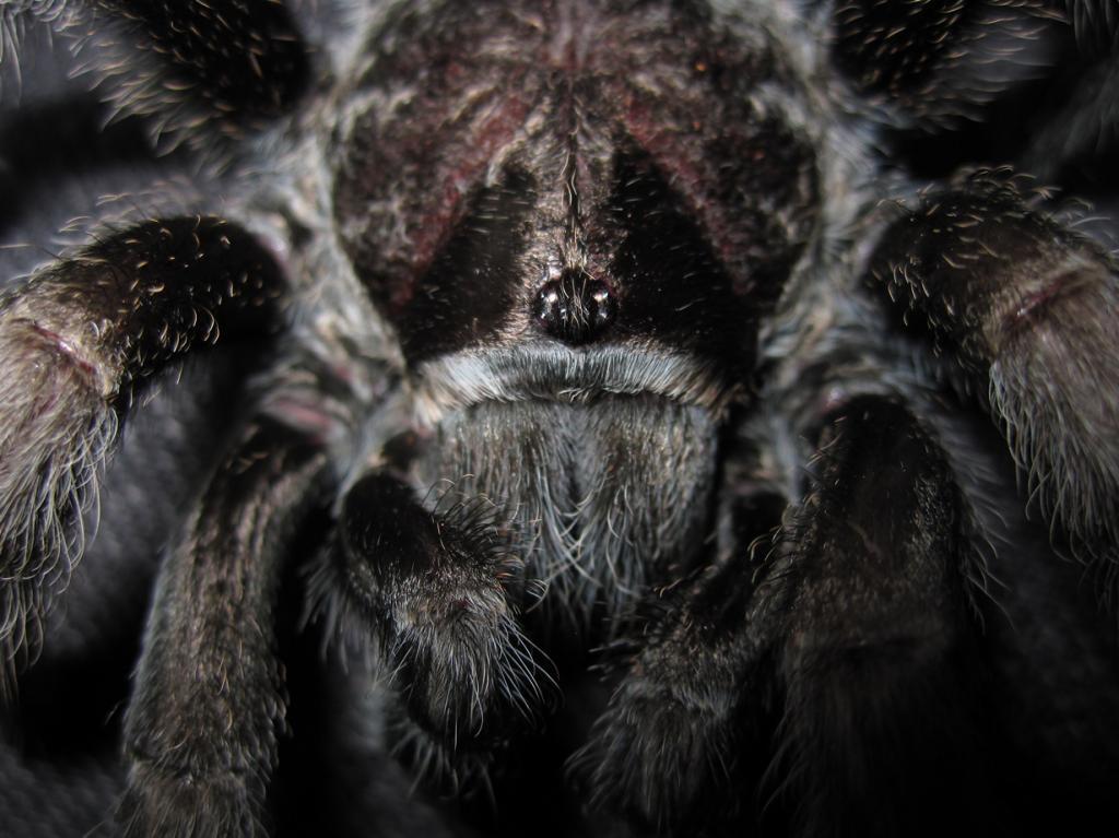 Чёрный паук-птицеед. (Tarantuland)