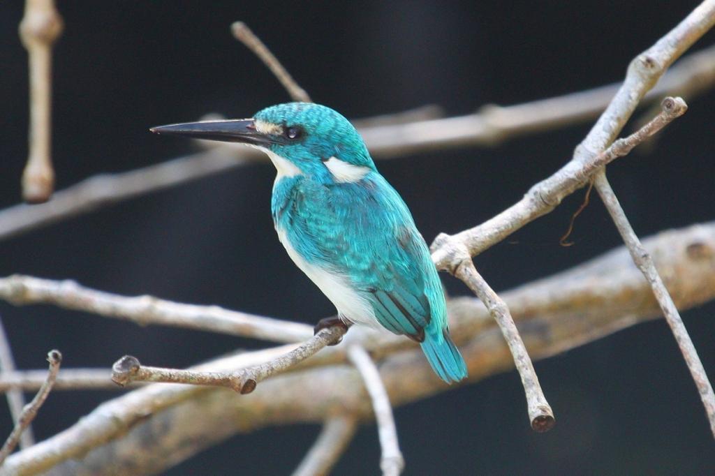 Малый голубой зимородок. (Aaron Maizlish)