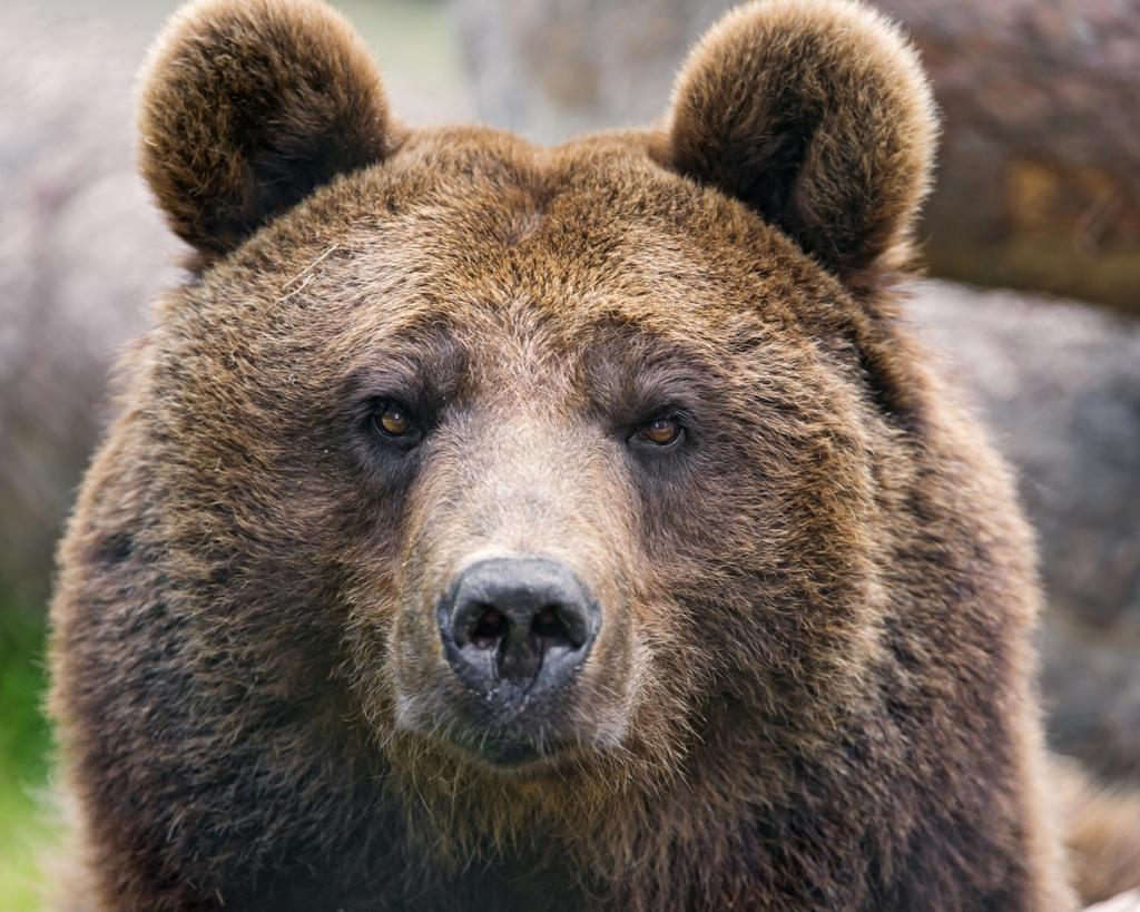 Бурый медведь. Ареал обитания: Болгария, Россия, Ирак, Иран, Канада, Китай, Норвегия, Румыния, Словакия, США, Финляндия, Чехия. (Tambako The Jaguar)