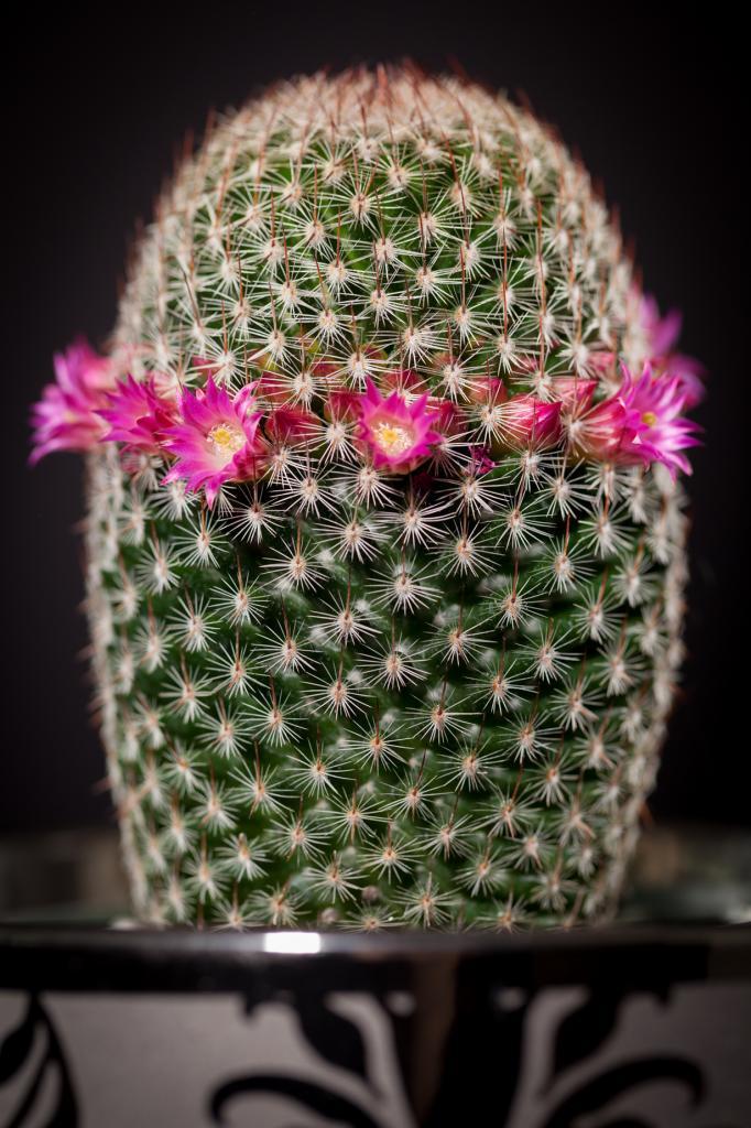 11 место. Кактусы. На фото изображён кактус Mammillaria matudae. (Peter Kemmer)