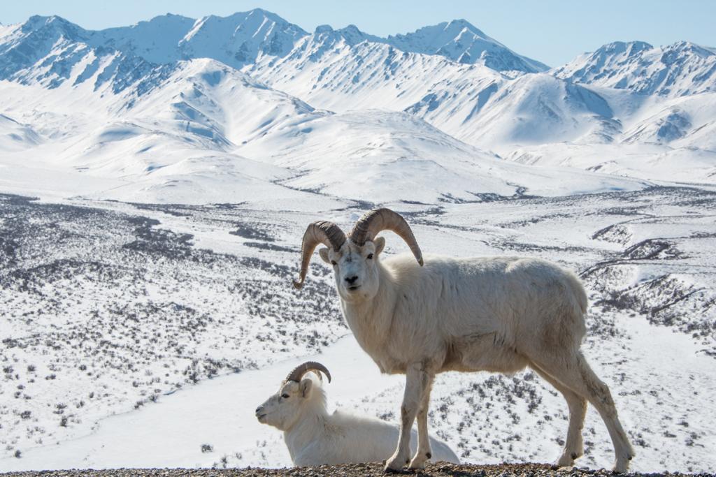США. Аляска. Прогулка по Национальному парку Денали. (NPS Photo/Lian Law)