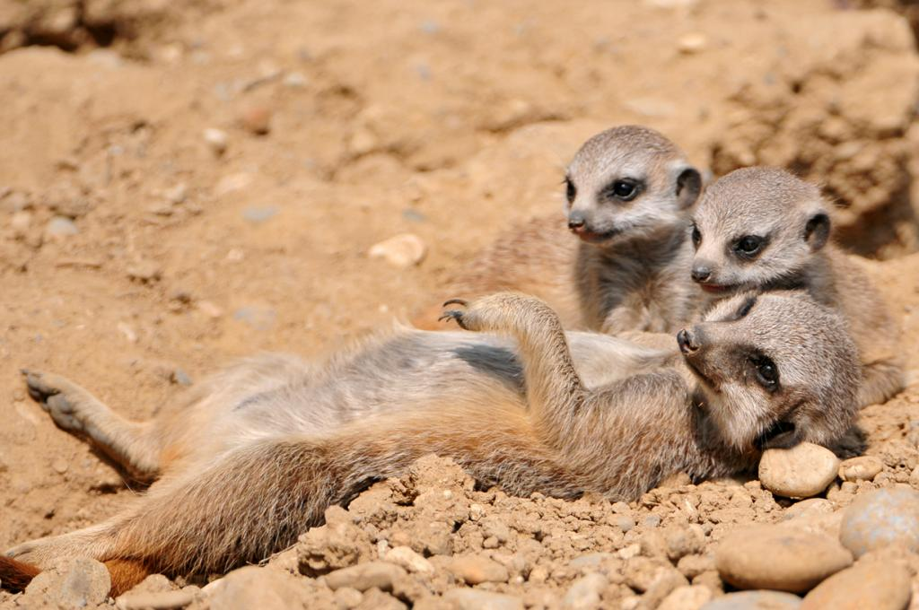 Детёныши суриката с матерью. (Tambako The Jaguar)