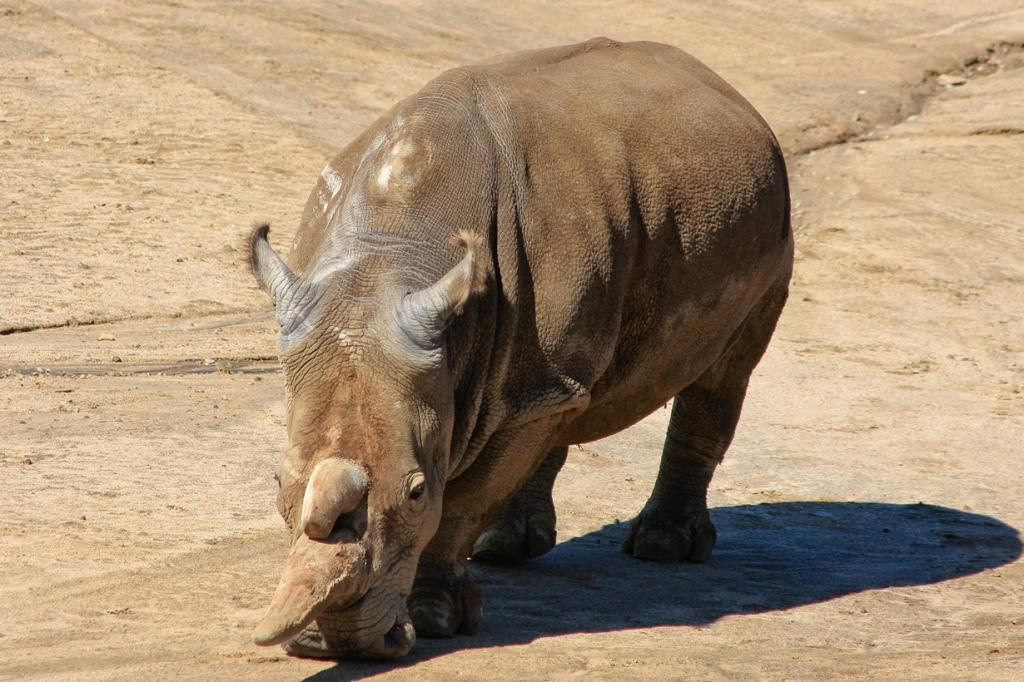 США. Сан-Диего, Калифорния. Самец северного белого носорога по кличке Ангалифу. (Don McCrady)