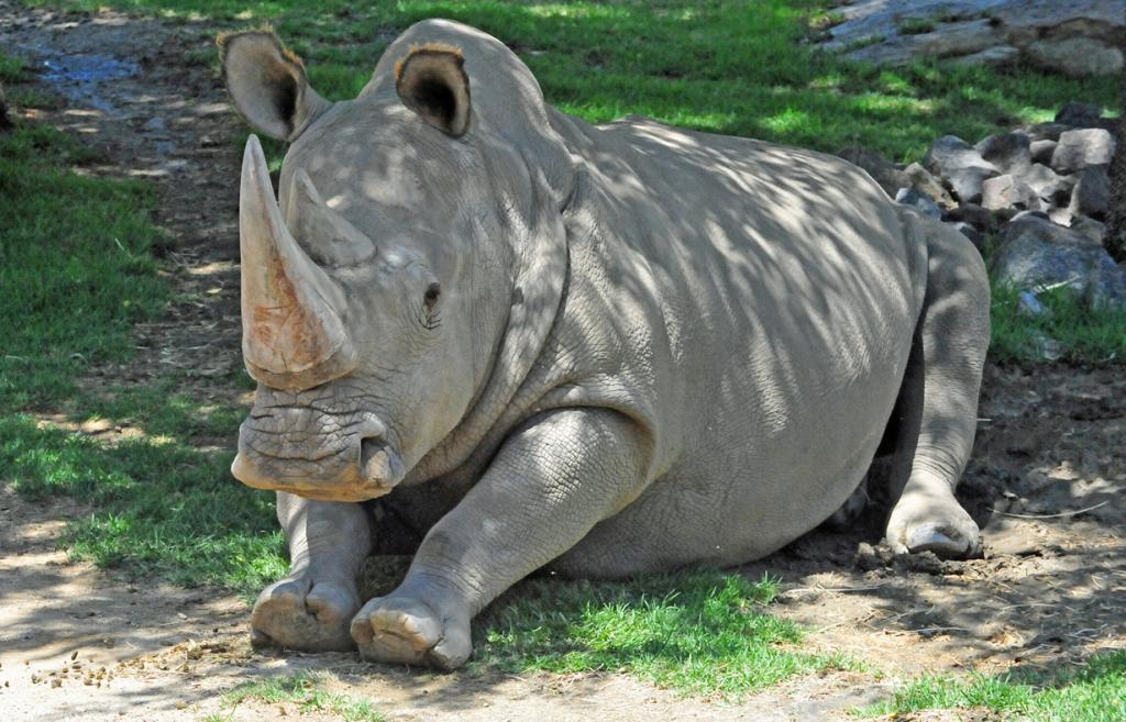 США. Сан-Диего, Калифорния. Самец северного белого носорога по кличке Ангалифу. (Heather Paul)