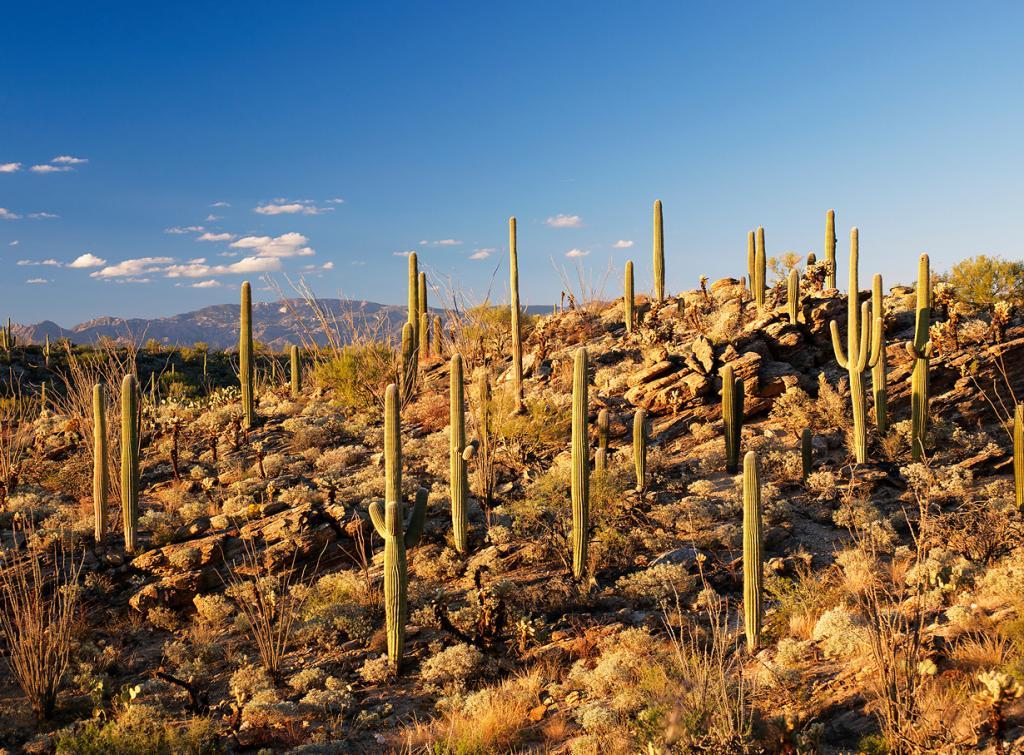 США. Аризона. Национальный парк Сагуаро. (Paucal)