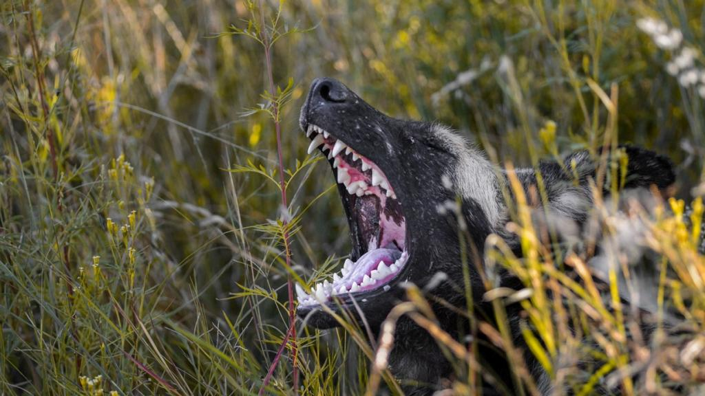 Гиеновидная собака. (Wild in Africa)