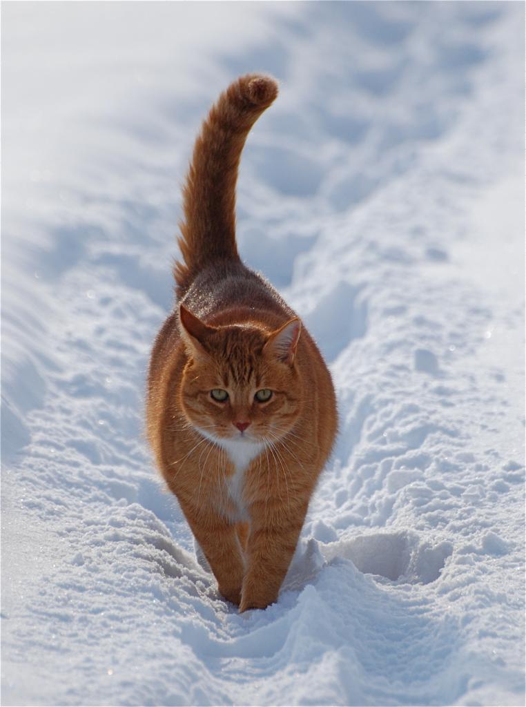Домашние кошки. (Tina :0))