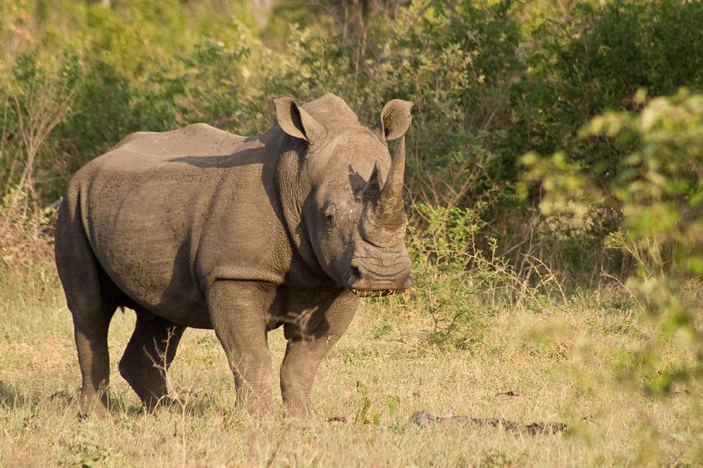 Носорог. (cweng50)