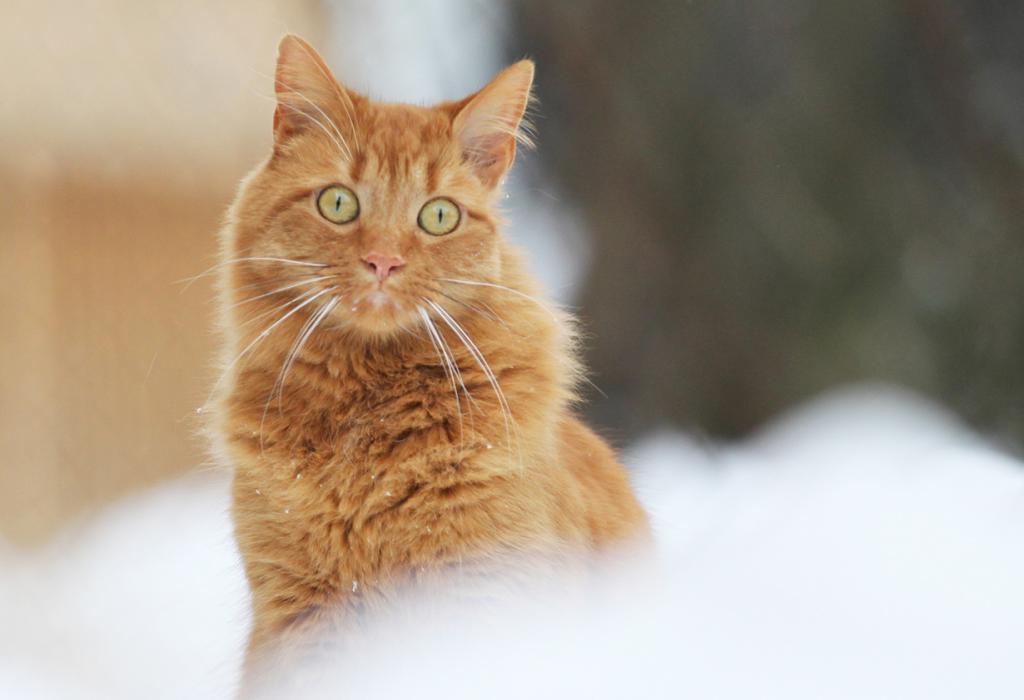 Домашние кошки. (Dan Zen)