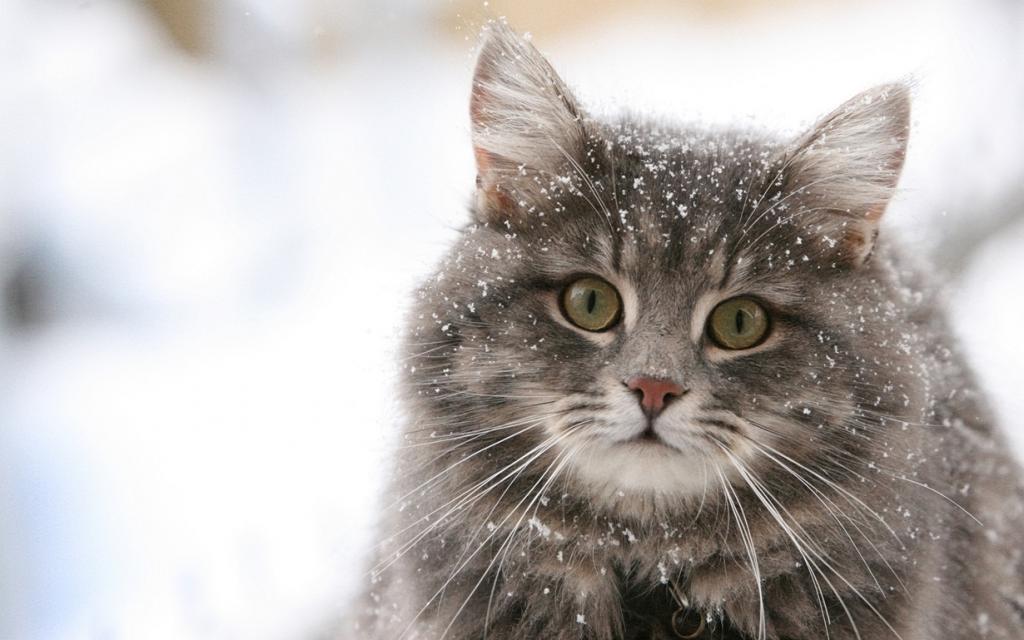 Домашние кошки. (Denis-Carl Robidoux)