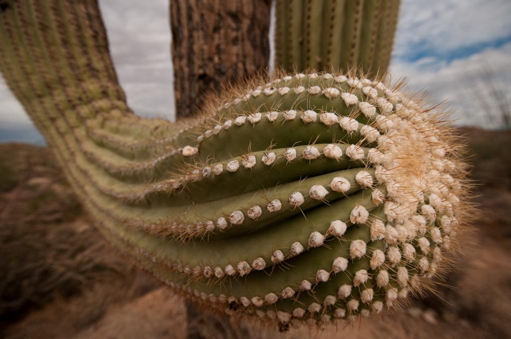 США. Аризона. Национальный парк Сагуаро. (Marc Tarlock)