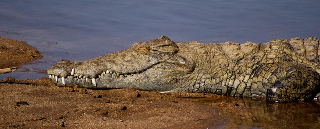 Нильский крокодил. (Wild in Africa)