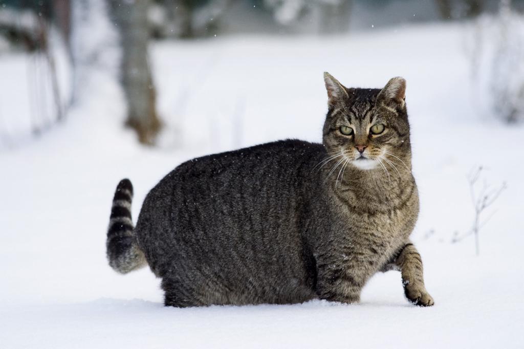 Домашние кошки. (Umberto Salvagnin)