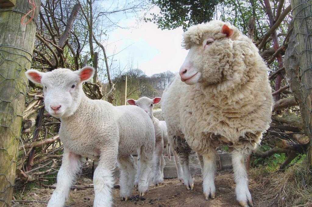 Ягнята и овца. (Tom Blackwell)