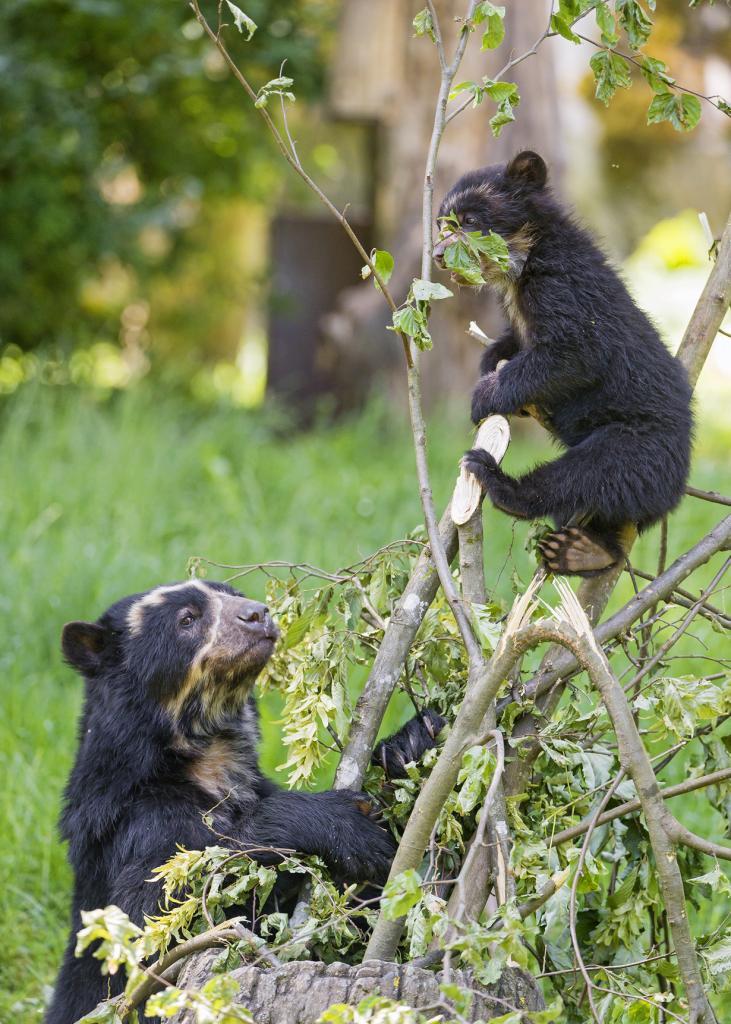 Детёныш очкового медведя. (Tambako The Jaguar)