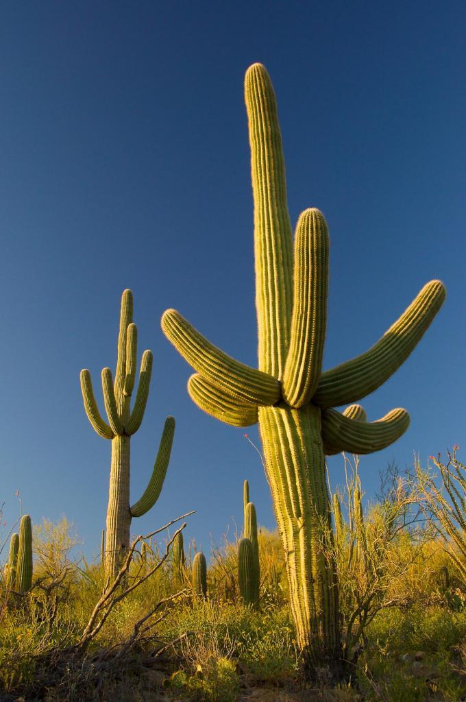 США. Аризона. Национальный парк Сагуаро. (Anne-Claude Faillétaz)