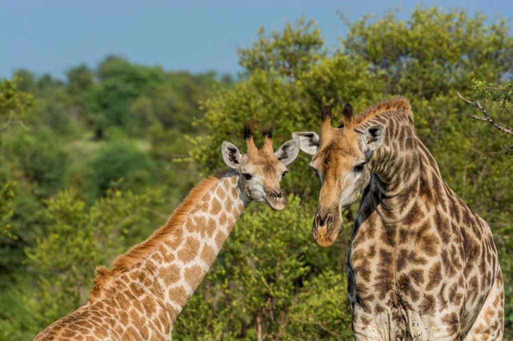 Жирафы. (Martijn Barendse)