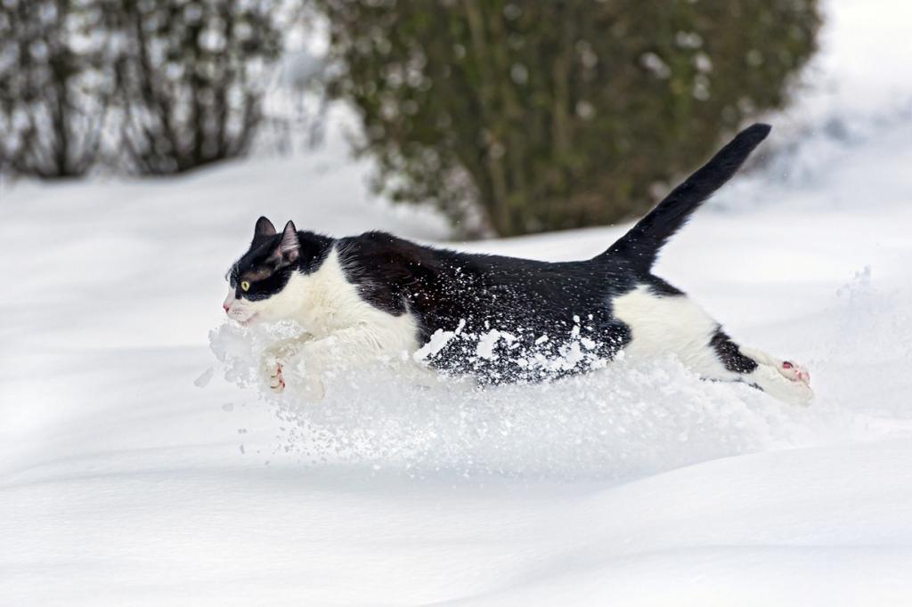 Домашние кошки. (Tambako The Jaguar)