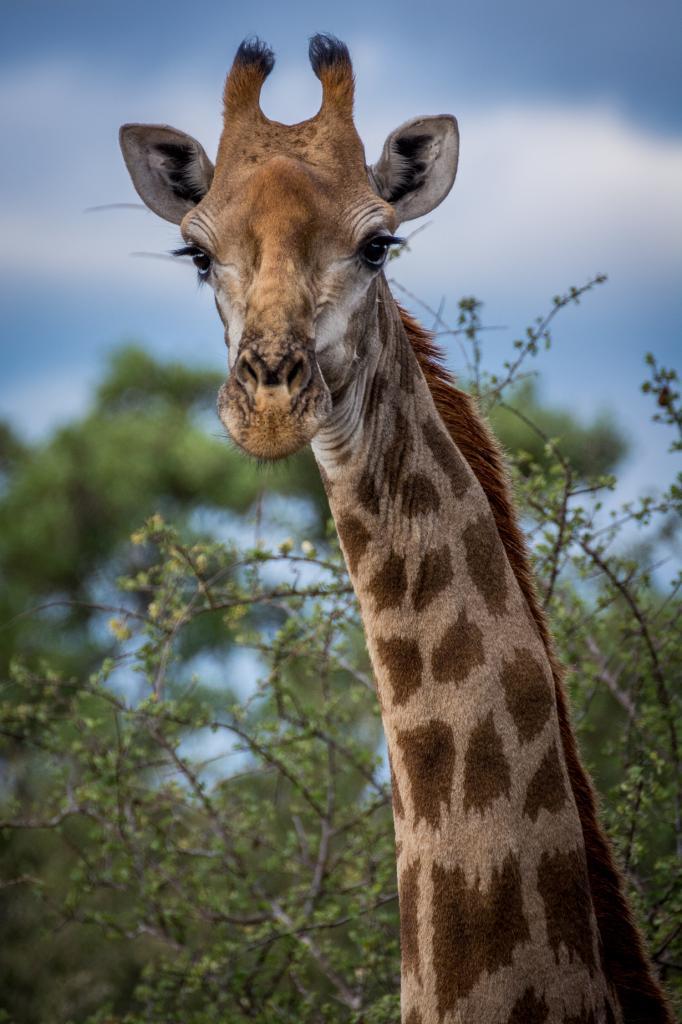Жираф. (Martijn Barendse)