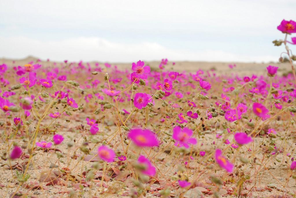 «Цветущая пустыня». Феномен наблюдается в самой засушливой пустыне мира — Атакаме. Цветение местных растений происходит в период более увлажнённых годов и только во время климатической весны (между сентябрём и ноябрём). (Joselyn Anfossi Mardones)