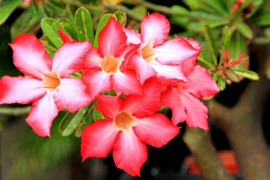 Адениум тучный. Растение содержит млечный сок. Его используют некоторые африканские племена в качестве яда для стрел. Для получения смертельно опасной субстанции цветки растения кипятят в течение 12 часов. (Yeoh Thean Kheng)
