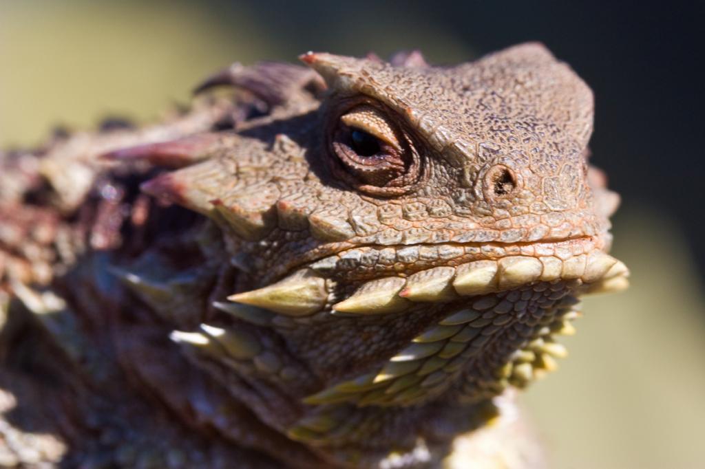 Рогатая ящерица использует необычную тактику защиты от врагов, стреляя в них своей кровью (на расстояние до 5 м). «Пистолетами» существу служат уголки глаз. (Ken-ichi Ueda)