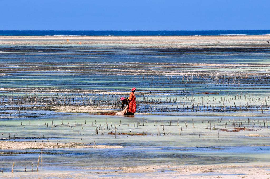 Женщины собирают морскую траву. (Tscherno)