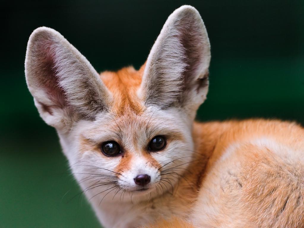 Фенек. По отношению к величине головы имеет самые большие уши среди хищников. Они нужны животному для лучшего охлаждения тела и охоты. (Tambako The Jaguar)