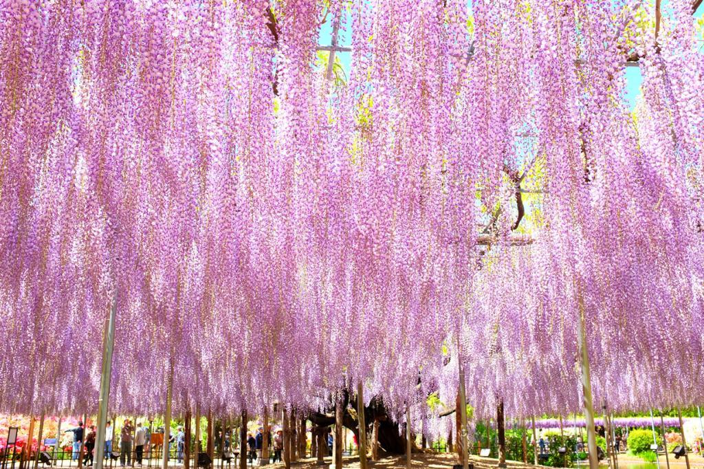 Хотите побывать в сказке? Тогда Вам стоит увидеть цветение глицинии. Растение популярно в Японии и часто используется в ландшафтном дизайне. Прогулка по парку, где раскинула свои цветущие ветви глициния, всегда увлекательна. В парке Кавати Фудзи Вы найдёте целый ряд арок с глицинией. Пик её цветения здесь начинается с конца апреля - начала мая. (Hideya HAMANO)