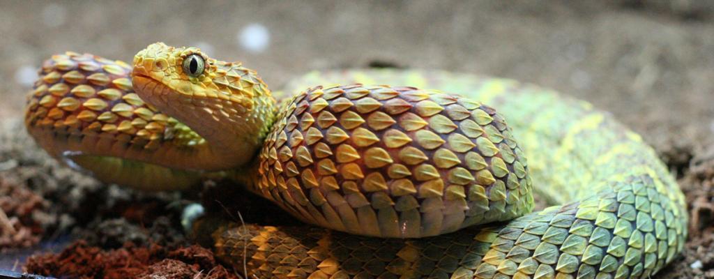 Древесная африканская гадюка. При мысли о змее сразу представляется устоявшийся образ — пресмыкающееся с гладкой и холодной кожей. Однако древесная африканская гадюка разрушает все стереотипы. Её тело покрывает ребристая чешуя, напоминающая мелкие листья. Ядовитое существо можно встретить в тропических лесах к югу от Сахары. (static416)