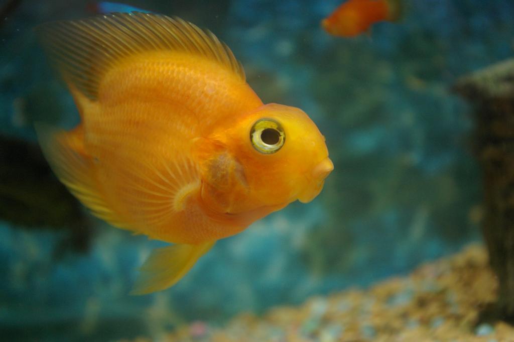 Рыба красный попугай — гибрид видов цихлазом. (Takahiro Asai)