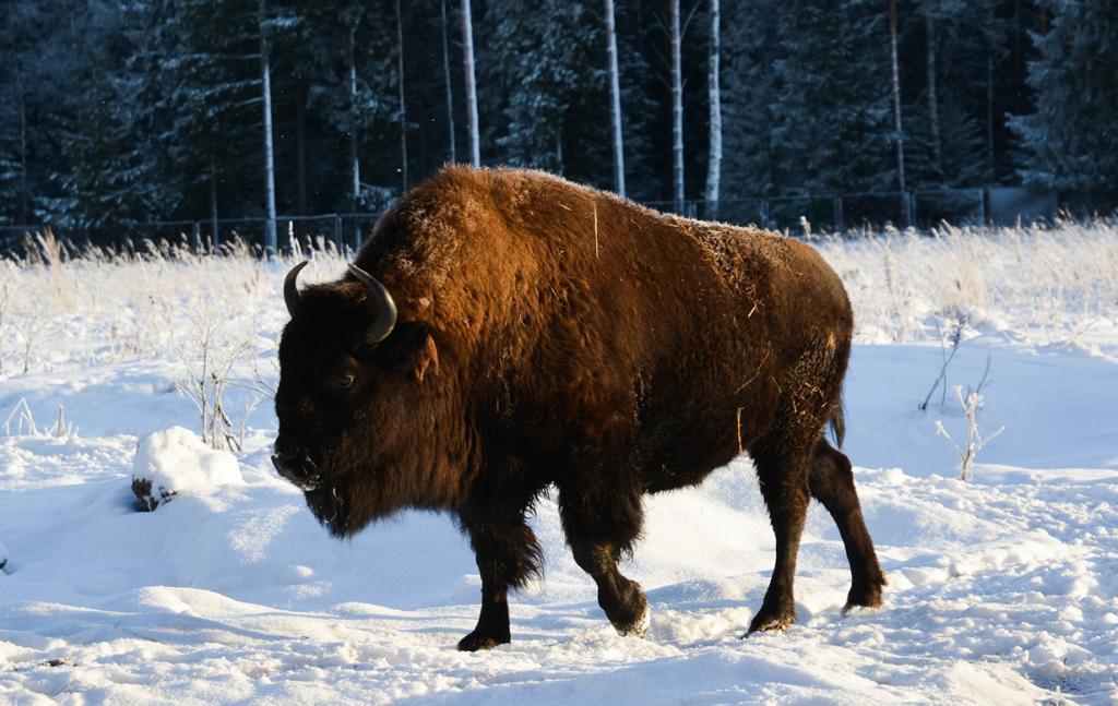 Зубробизон — гибрид бизона и зубра. (Okras)