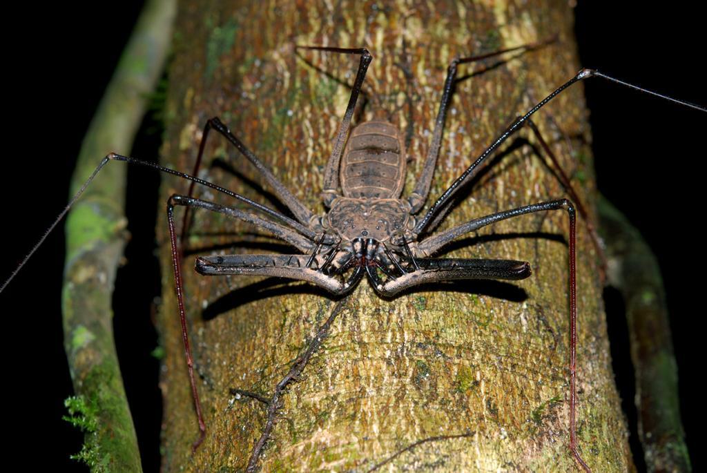 Фрин. У этого паука отсутствуют как ядовитые, так и паутинные железы; они пугливы и не представляют особой опасности для жизни человека. (Geoff Gallice)