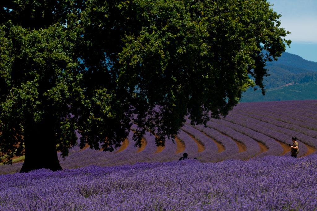 Нет, это не заставка для рабочего стола, а обычный пейзаж французской области Прованс. Наблюдать цветение лаванды можно начиная с последней недели июня до первой недели августа. (Keith Midson)