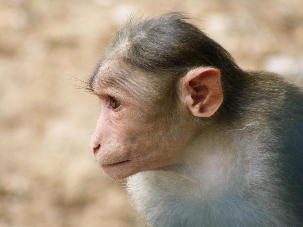 Обезьяньи мозги. Блюдо относится к восточной и африканской кухням. Мозги употребляют как в приготовленном, так и в сыром виде, иногда животное при этом ещё остаётся живым. В этом случае обезьяне вкалывают специальный препарат для успокоения, затем снимают скальп и подают клиенту. Однако, такой «деликатес» может сулить заражением прионными инфекциями. (smerikal)