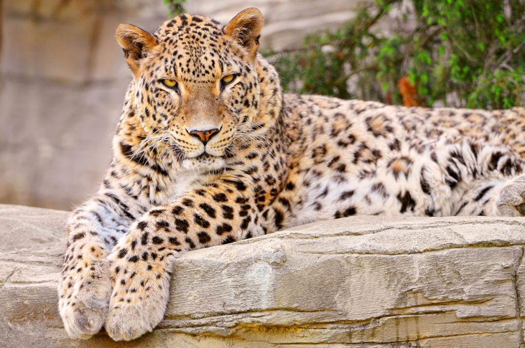 1. (Tambako The Jaguar)