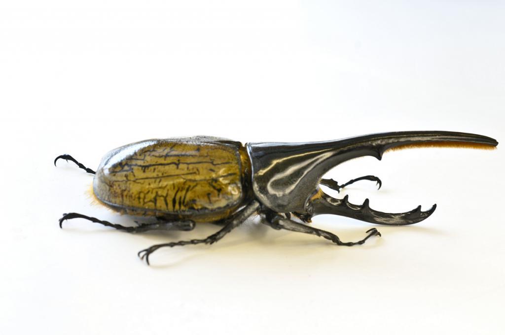 Жук-геркулес. Самцы этого вида имеют непомерно большой рог. (Smithsonian Institution-NMNH-Insect Zoo)