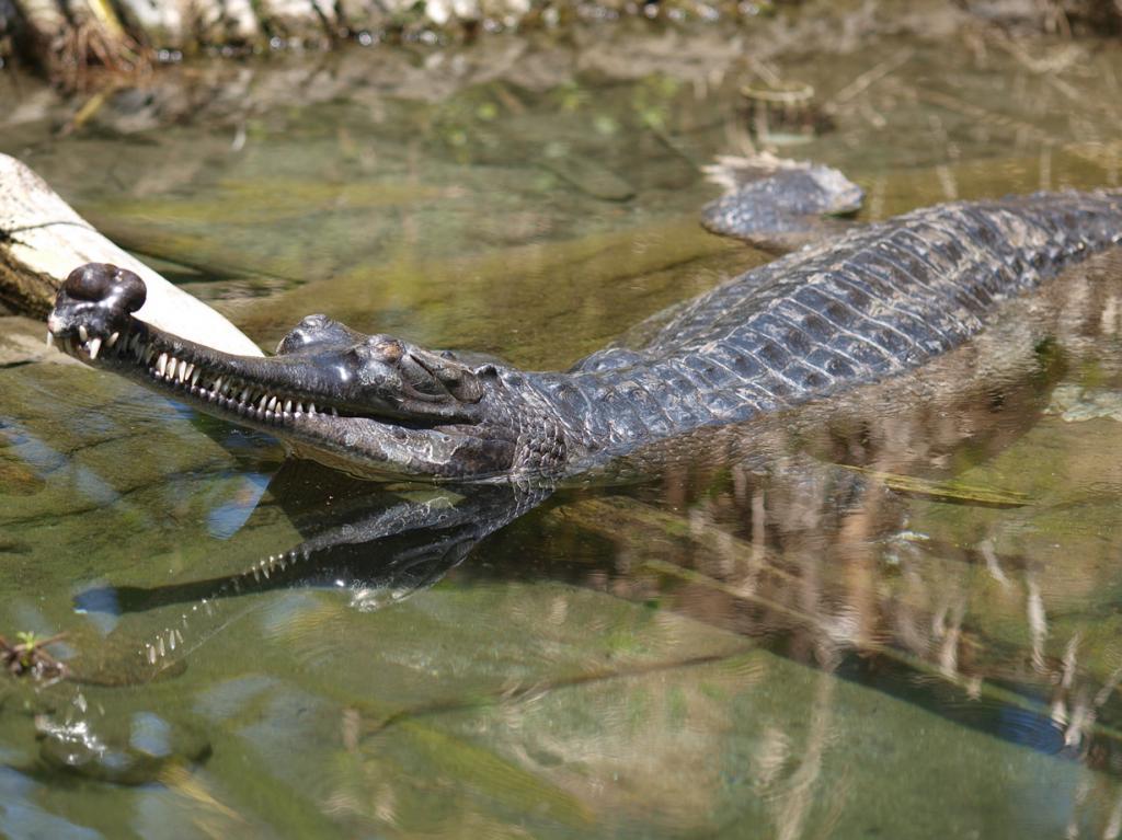 Гангский гавиал. Вселяет ужас длинная челюсть с огромным количеством зубов (около 100). Однако, это животное питается исключительно рыбой и не нападает на людей, напротив, живёт бок-о-бок с рыбаками и фермерами. Существо редко выходит из воды: в основном, только для откладывания яиц. Вид находится на грани исчезновения. (mliu92)