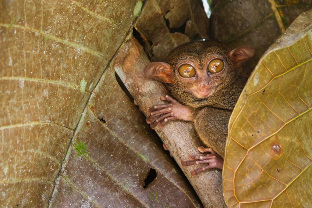 Долгопят. Представители этого рода имеют глаза диаметром до 16 мм. В сравнении с пропорциями тела они считаются обладателями самых больших глаз среди млекопитающих. (Olivier Jeannin)