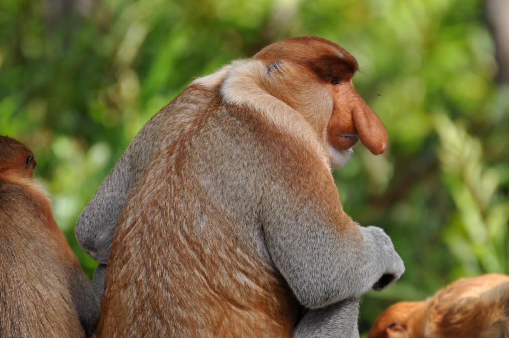 Носач. У самцов этого вида имеется непомерно большой нос, похожий на огурец. (shankar s.)
