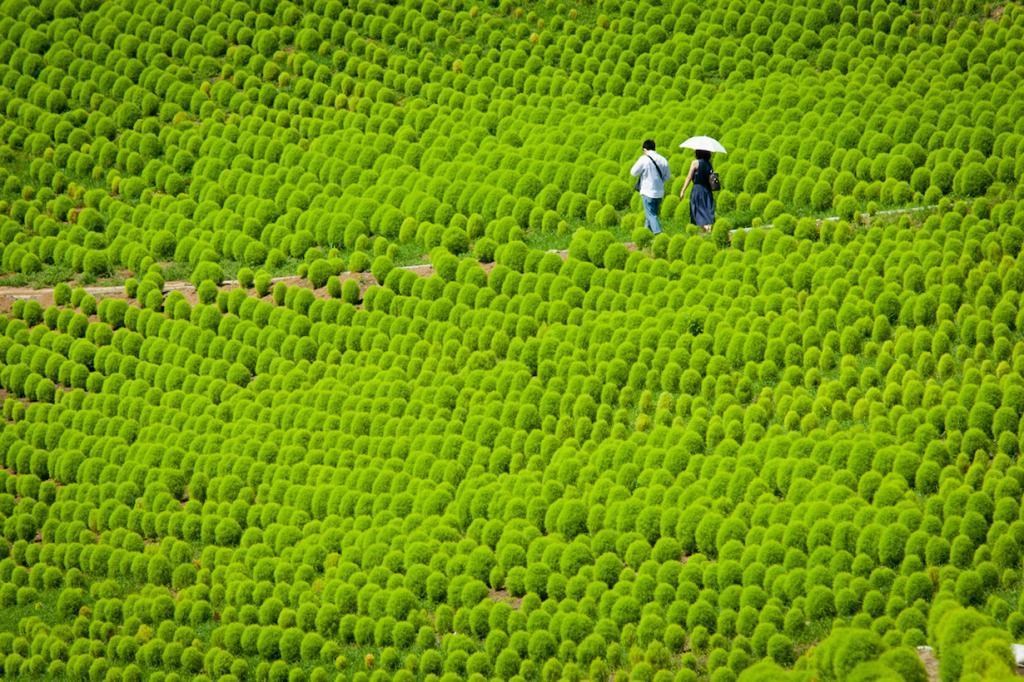 Япония. Хитатинака. Ещё одно невероятное место, которое в действительности существует — парк Хитачи-Сиасайд. Объект охватывает площадь в 190 гектаров цветущих растений, включая миллионы немофил, нарциссов, тюльпанов и других цветов. Без преувеличения, Хитачи-Сиасайд — цветочный рай. (kobaken++)