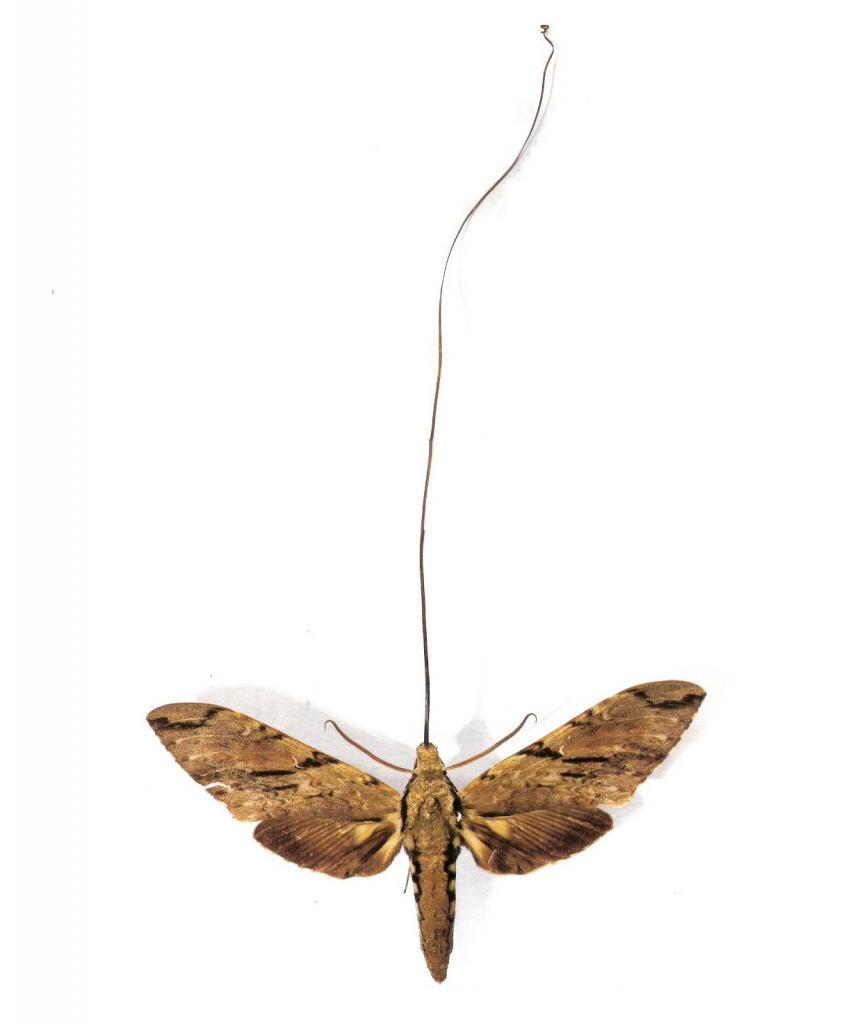 Мадагаскарский бражник. Представитель этого вида считается обладателем самого длинного хоботка среди бабочек, длина которого достигает 22,5 см. (Esculapio)