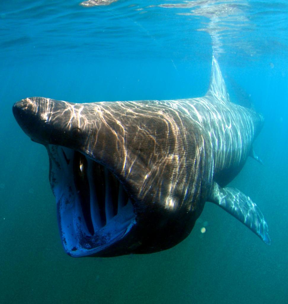 Гигантская акула. Вселяют ужас внушительные размеры (до 10 м) и гигантская пасть существа. Однако, великан абсолютно равнодушен к человеку. Дайверы без особого риска могут приближаться к животному, в то время как оно продолжает свой путь, не замечая «свиты». На заметку: гигантская акула держит свой рот открытым во время охоты на планктон. Стоит также отметить, что животное не заглатывает воду, а фильтрует её через жабры. (Greg Skomal/NOAA Fisheries Service)