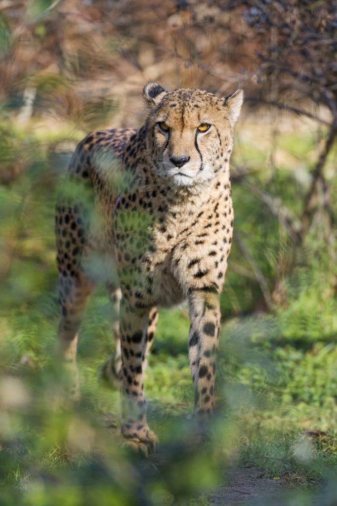 2. (Tambako The Jaguar)
