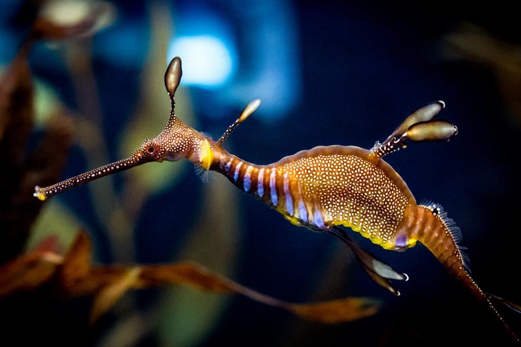 Phyllopteryx taeniolatus. (Chris Smith)