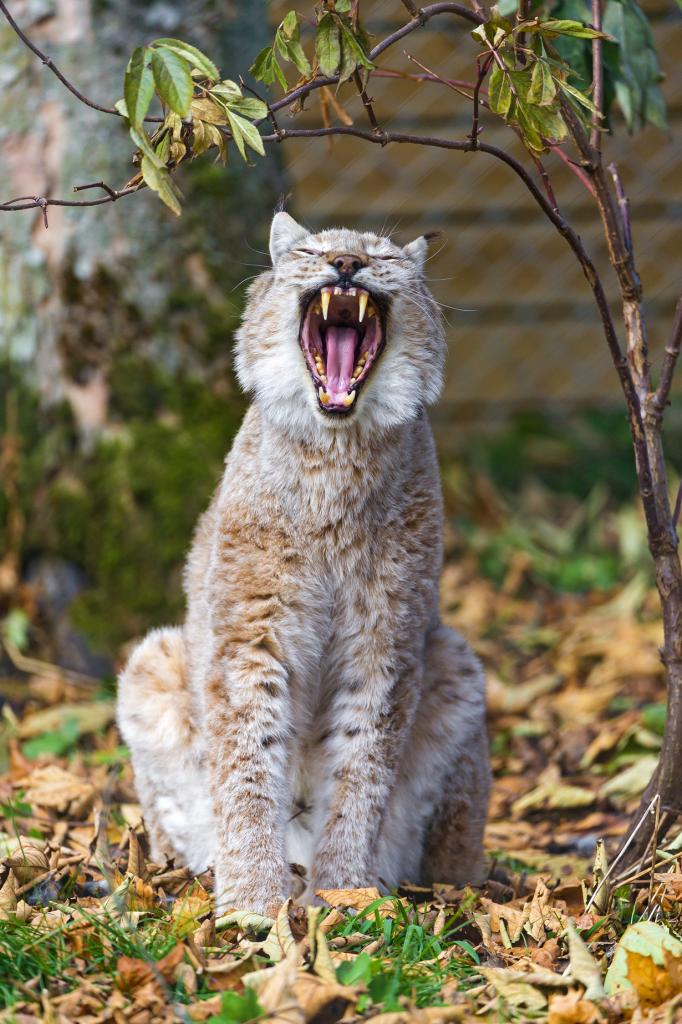 Пятничный зёв. (Tambako The Jaguar)