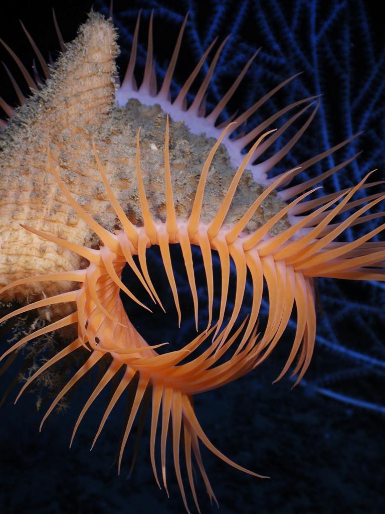 Актиния венерина мухоловка. (NOAA Photo Library)